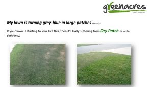 Dry patch – My lawn is turning blue in large patches